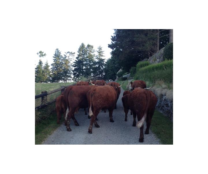 Cycle de vie des bovins